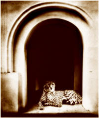 Cheeta in the tempel